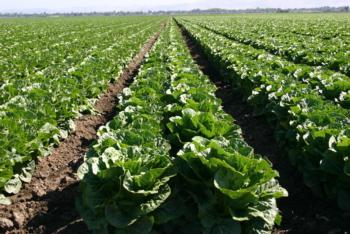 Romaine Lettuce is Being Researched to Determine Optimum Bed Spacing
